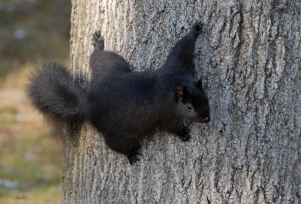 Invasion of the Ninja Squirrels