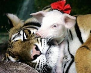 tiger-pig